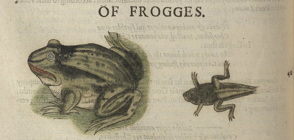 Illustration of a frog and a froglet with a short tail