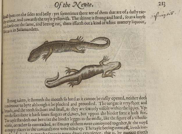 Two newts illustrating a page titled 'Of the Newte'